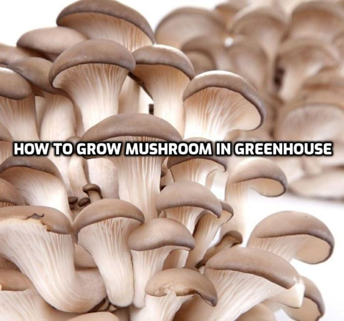 Growing Mushrooms in Greenhouse.