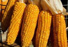 Growing Hydroponic Corn.