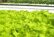 Growing Leafy Greens in Hydroponics.