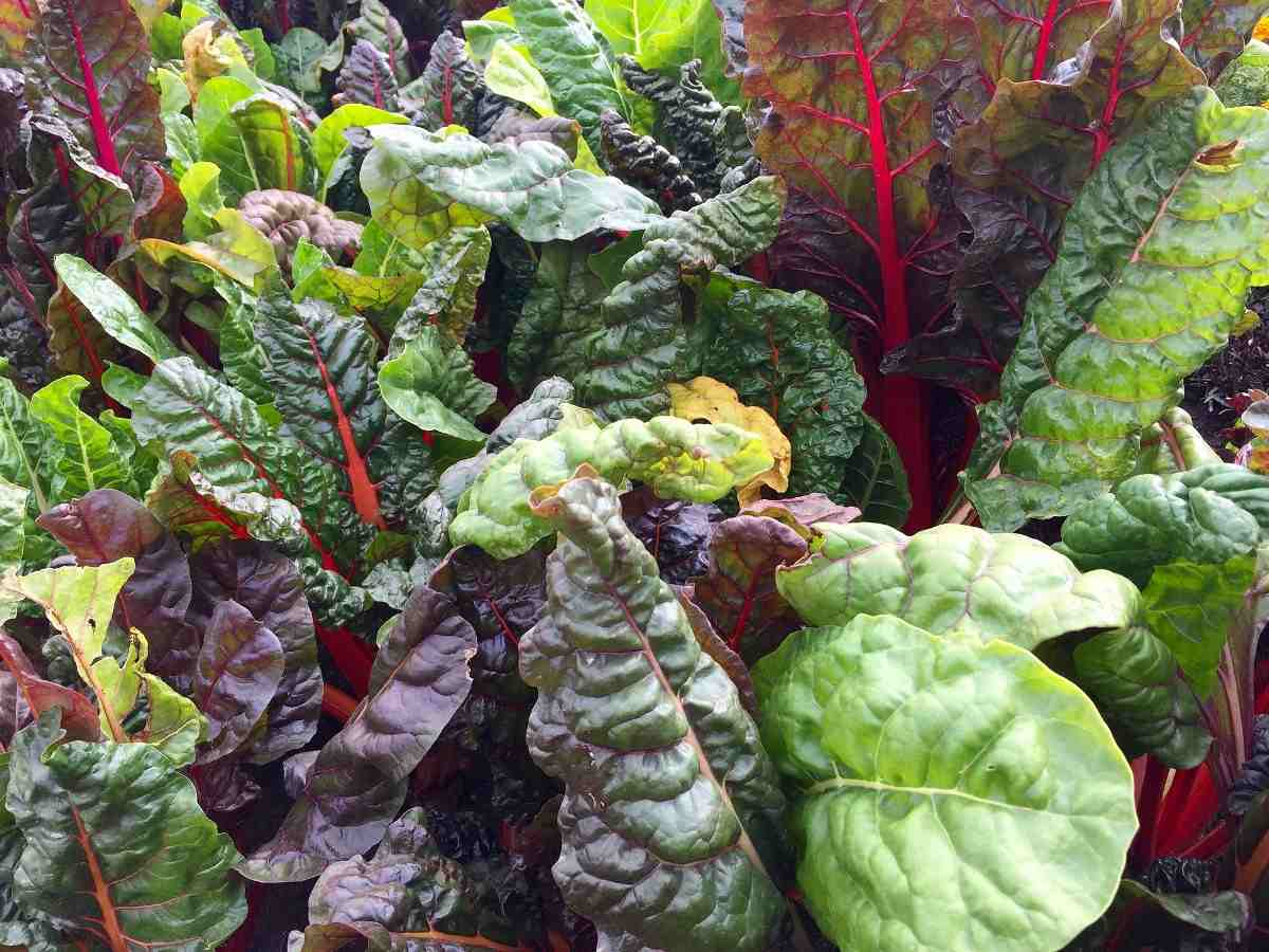 Growing Swiss Chard Hydroponically A Full Guide Gardening Tips