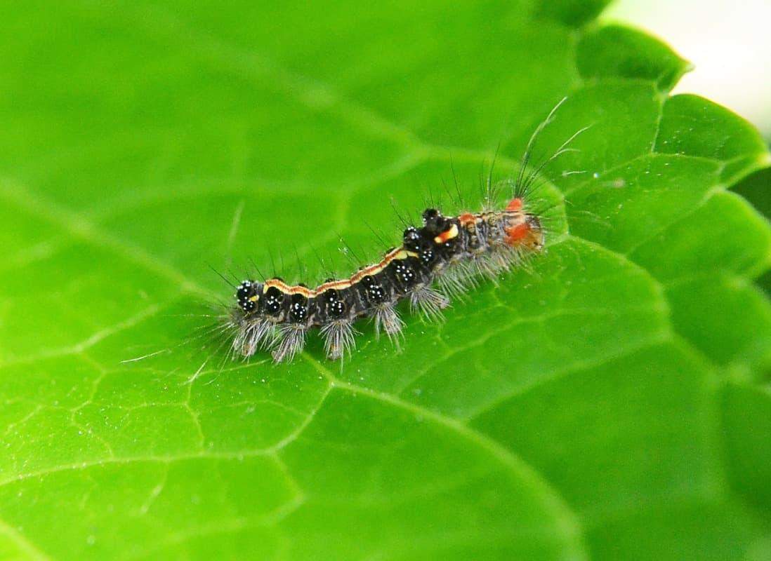 Caterpillars in Vegetable Plants.