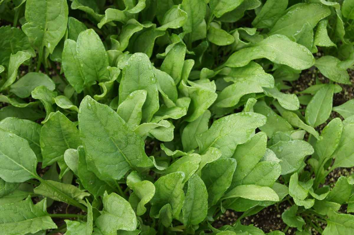 Spinach Growing Tips.