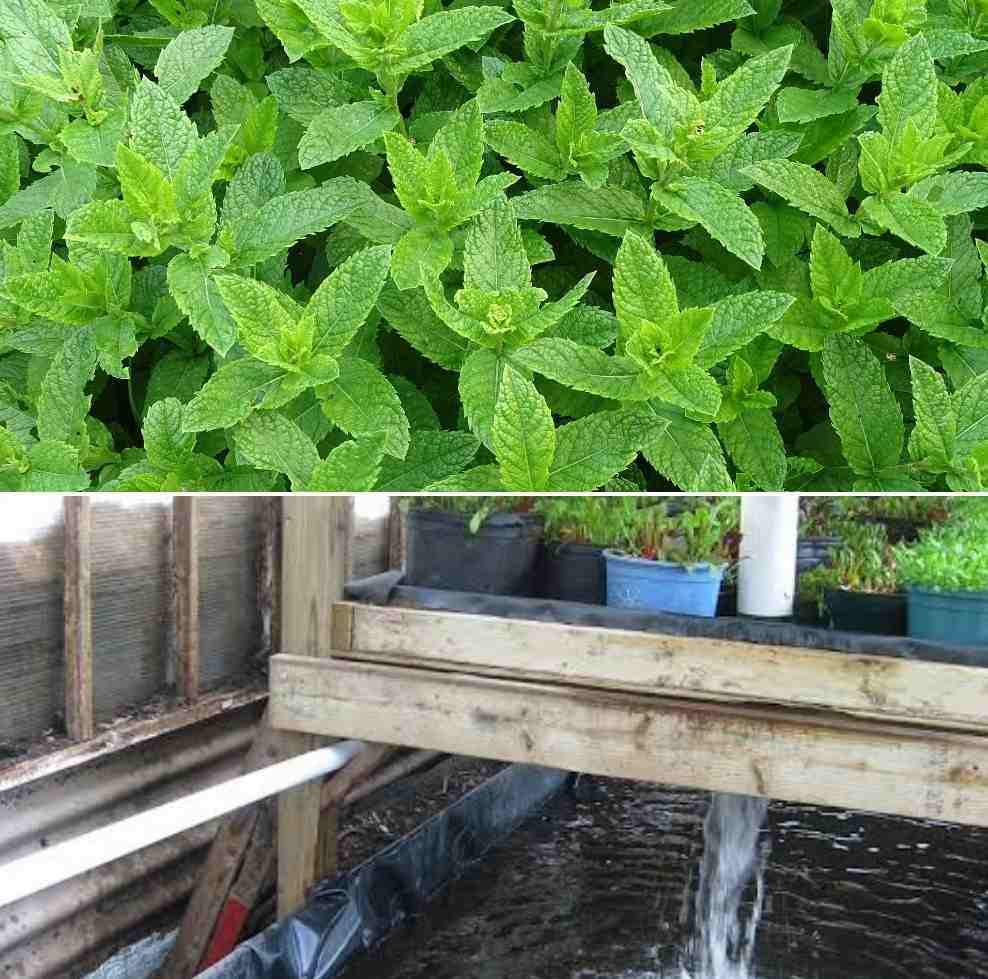 Conditions for Growing Aquaponic Mint.