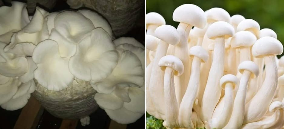 A guide to Hydroponic Mushrooms.