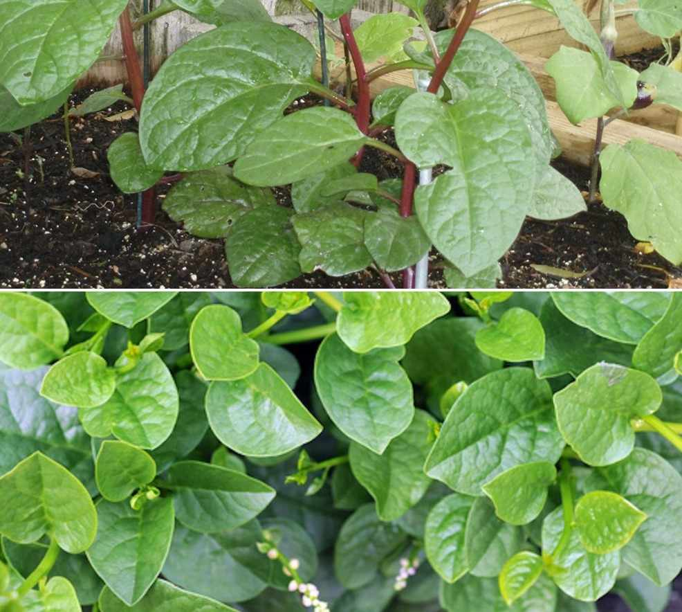 How to Grow Malabar Spinach from Seed.