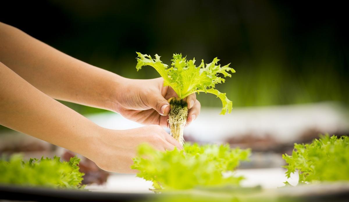 Hydroponic Leafy Greens Guide.