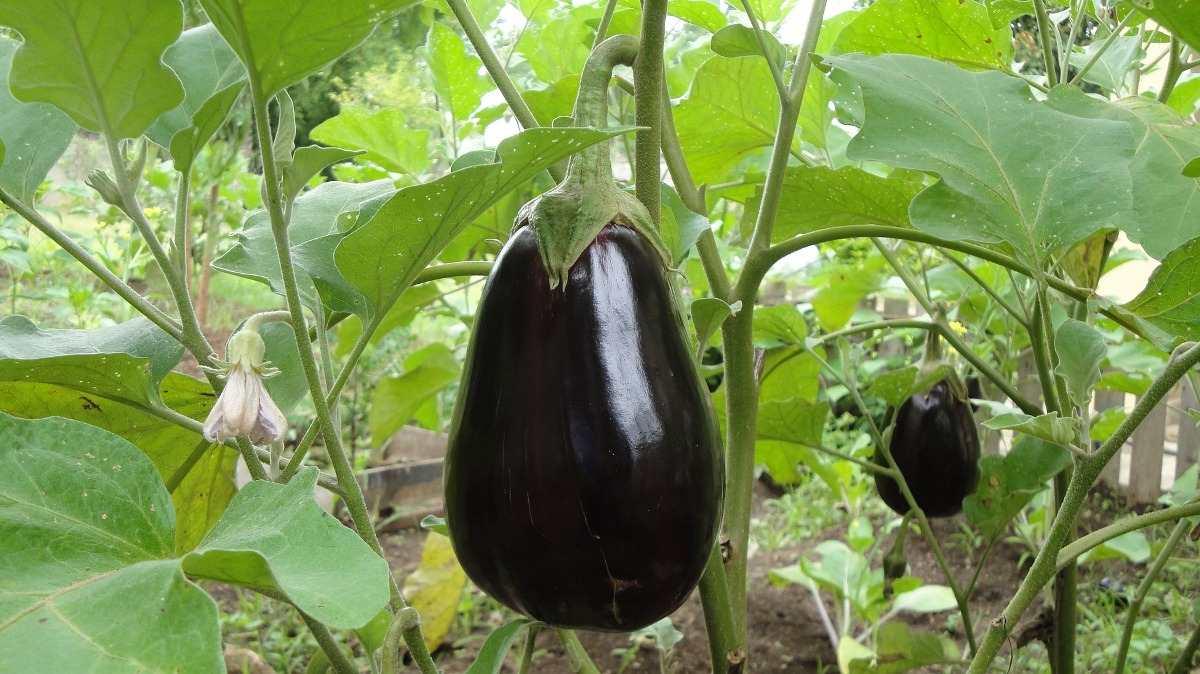 Eggplant Care.