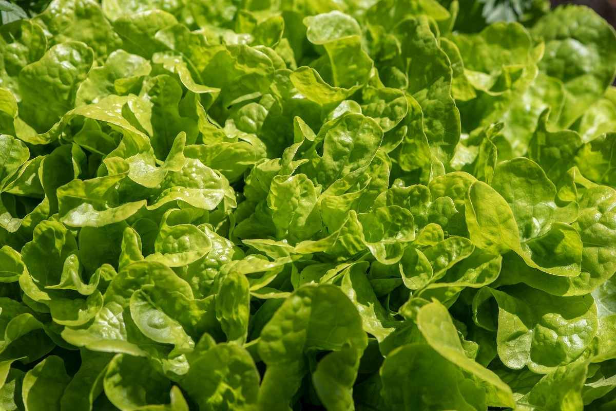 Growing Conditions for Salad Greens.