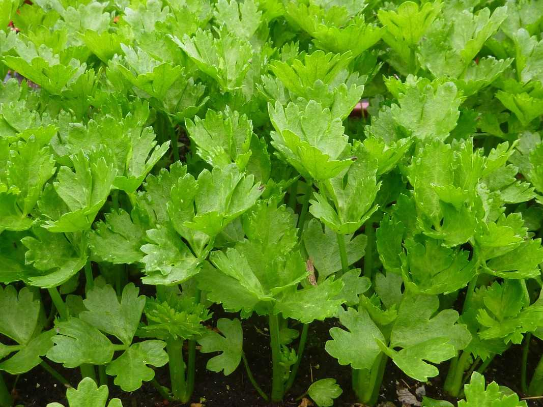 Growing Celery in Containers.