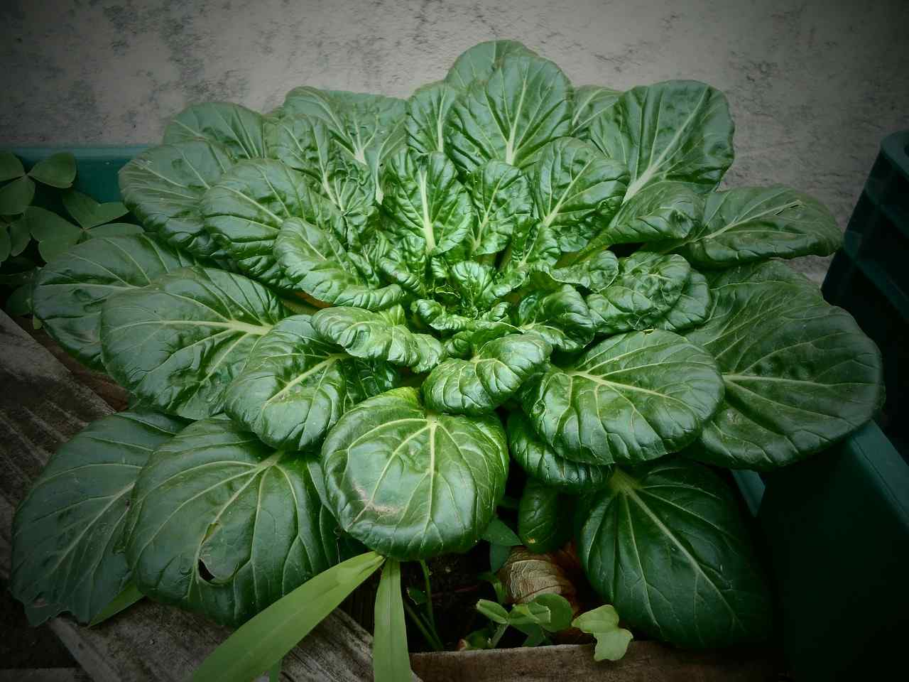 Orchard Spinach.
