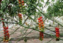 Tomato Plant Spacing.