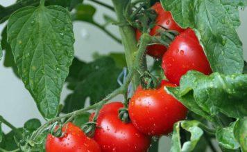Growing Aquaponic Tomatoes.