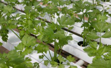 Growing Coriander in Aquaponics.