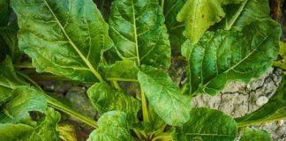 Shade Vegetable Gardening.