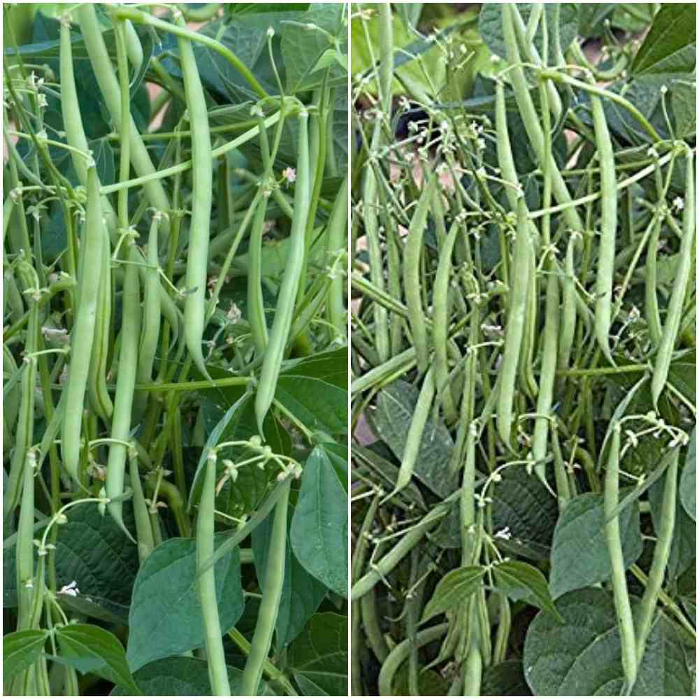 French Beans Gardening Tips.