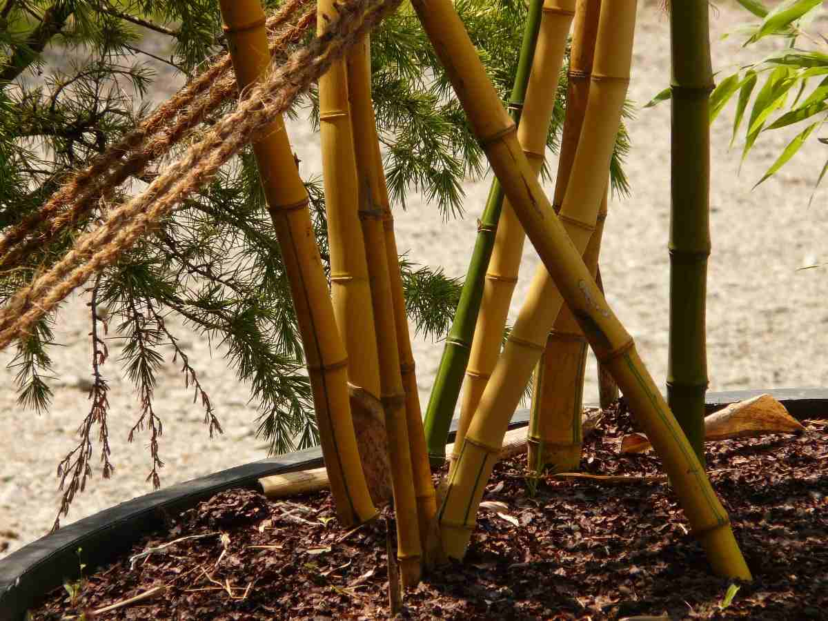 Maintanance of Potted Bamboo.