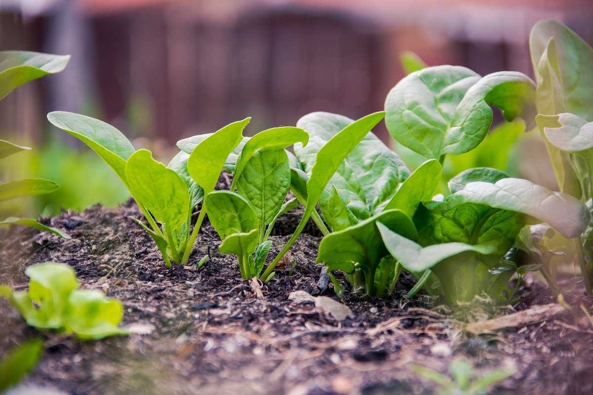 How to Plant Spinach in Raised Beds.