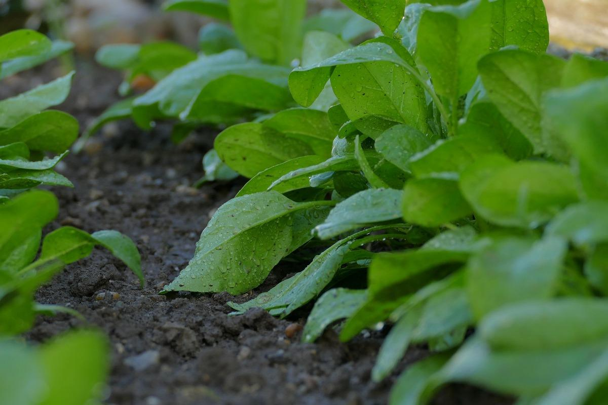 Soil Requirement for Spinach Growing.