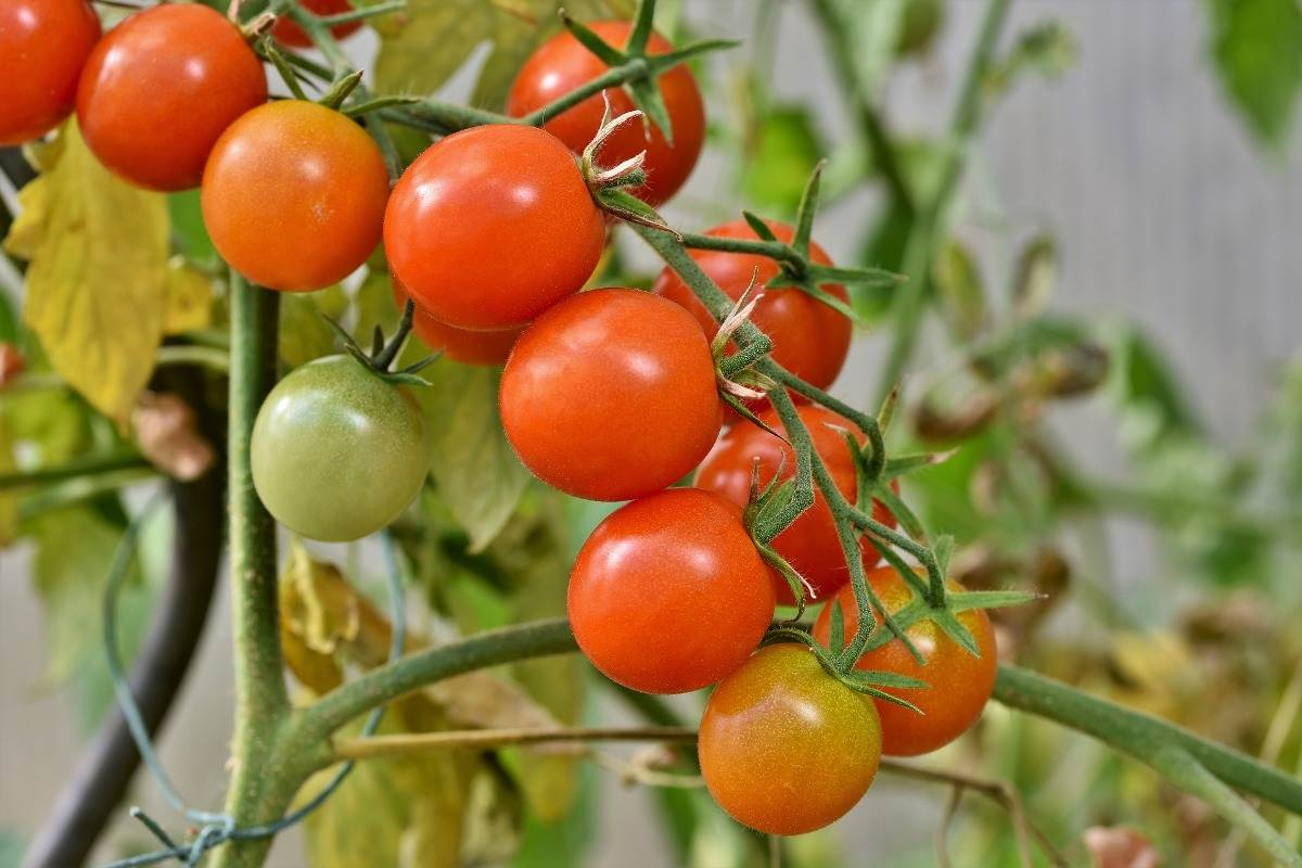A guide to Aquaponic Tomatoes.