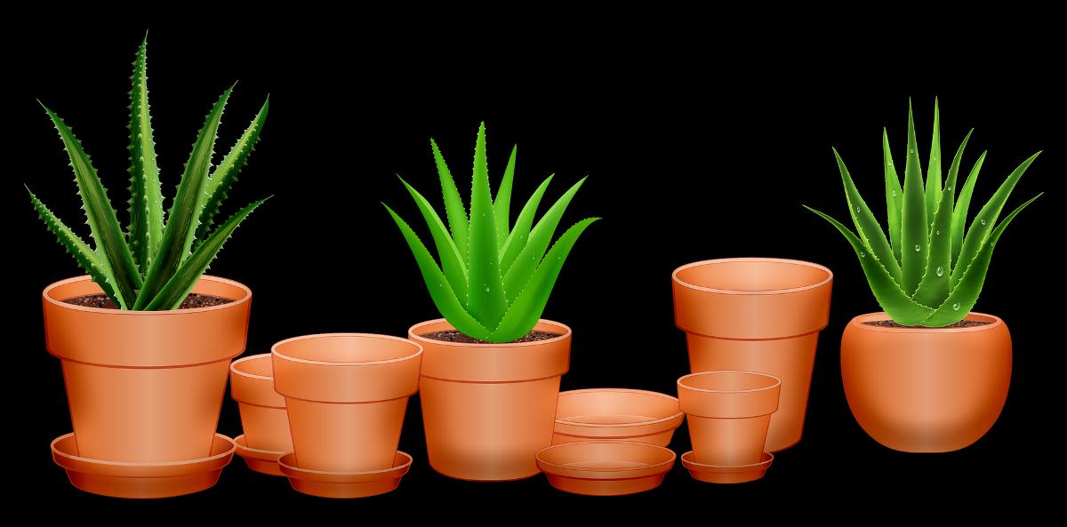 Growing Method of Aloe Vera in Pots.