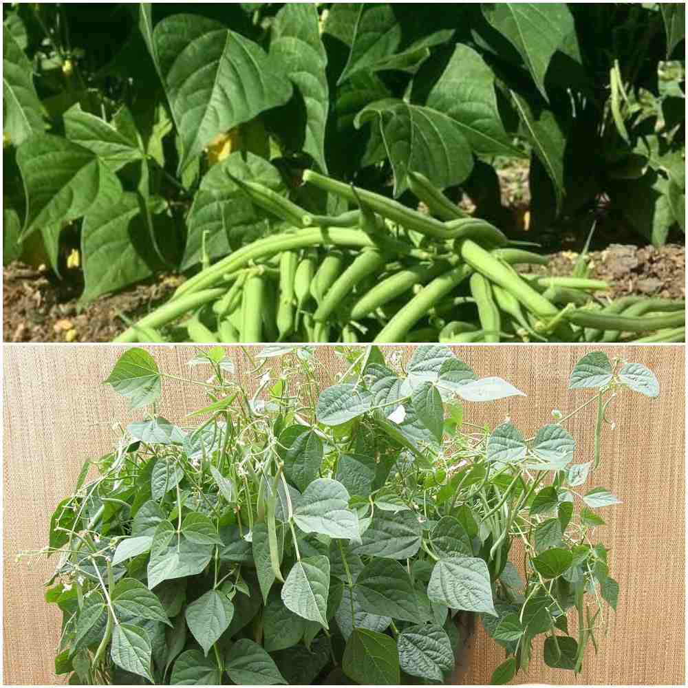 French Beans Growing Tips.