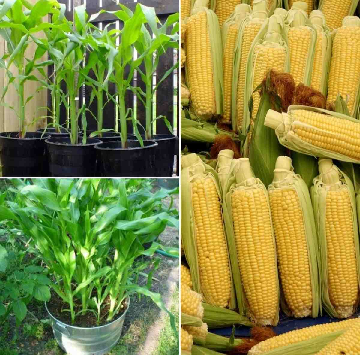 Container Preparation for Growing Corn.