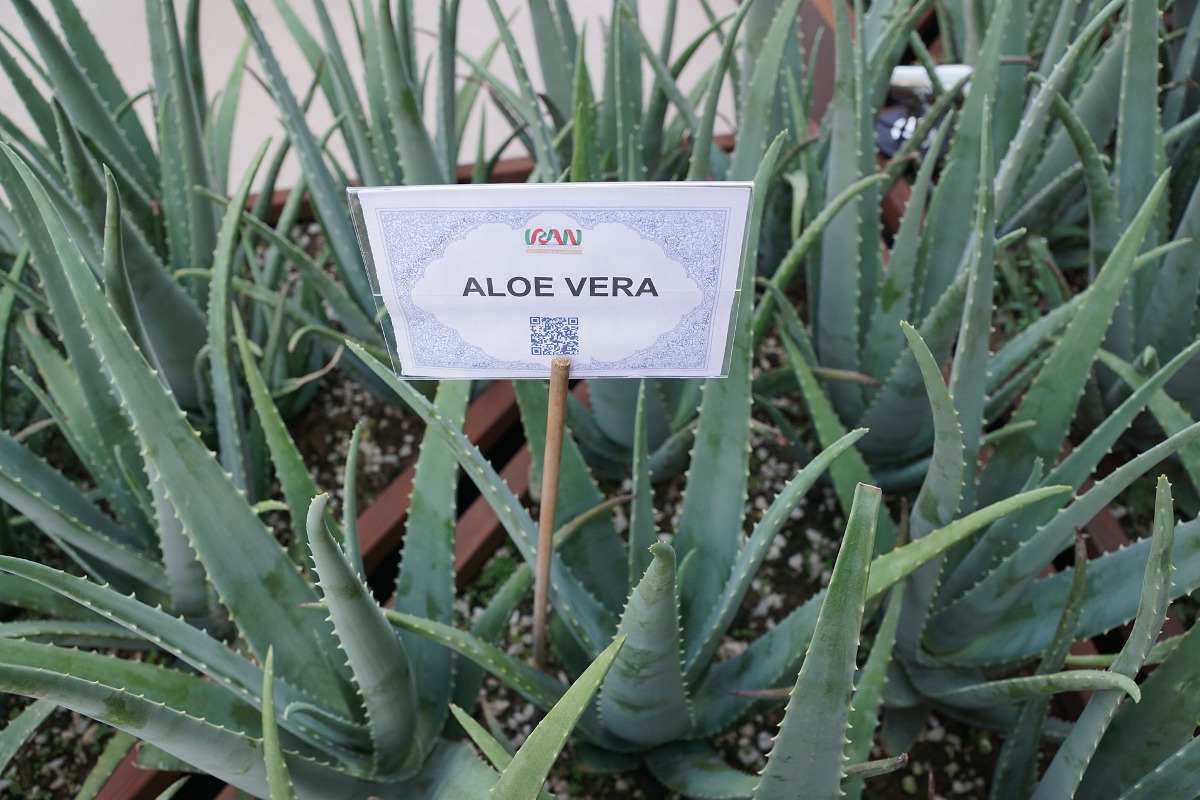 Location for Growing Aloe Vera Plant.