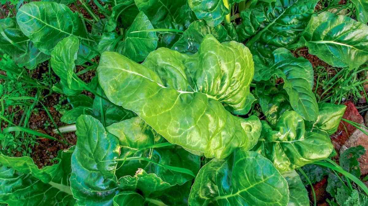 Spinach Plant Care.