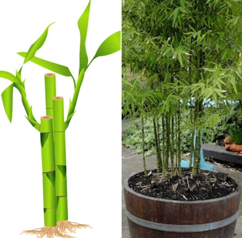 How to Choose a Bamboo for Container Garden.