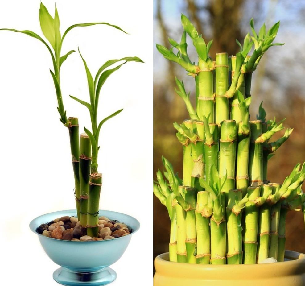 Bamboo Growing Consideration in Containers.