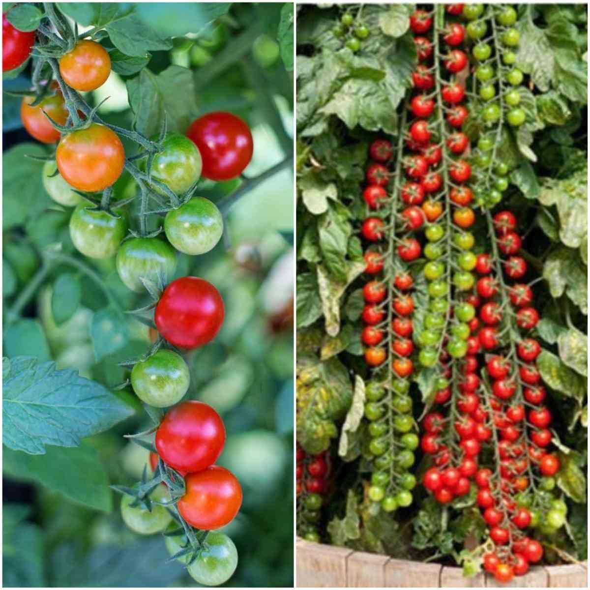Climbing Tomato Plants.