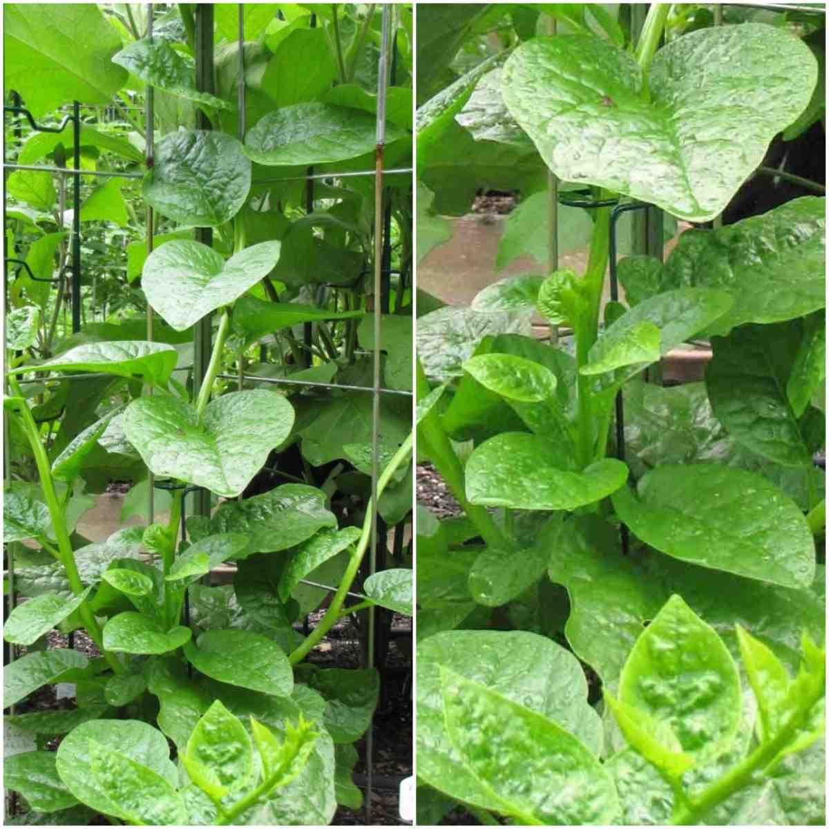 Climbing Malabar Spinach.