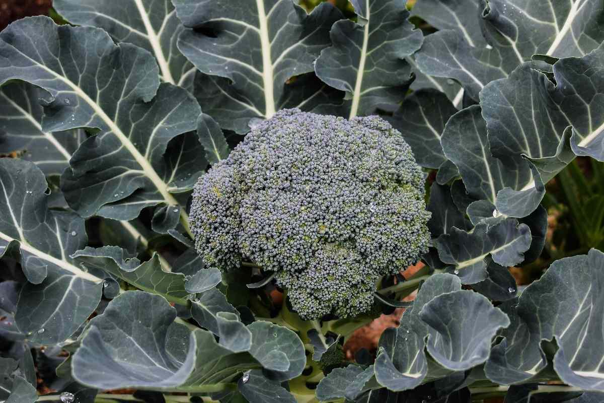 Broccoli Shade Vegetable Gardening.