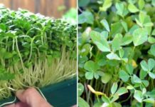 Growing Hydroponic Fenugreek.