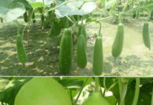 Bottle Gourd Pests.