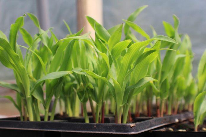 Corn Seed Germination.