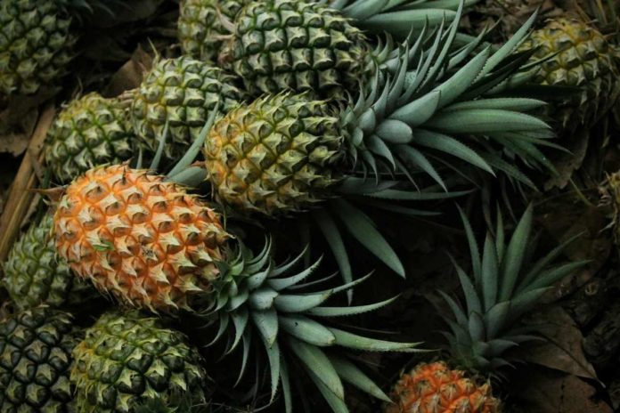 Growing Pineapple from Cuttings.