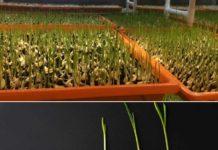 Growing Garlic Hydroponically.
