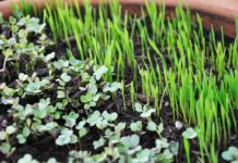 Growing Microgreens in Pots.