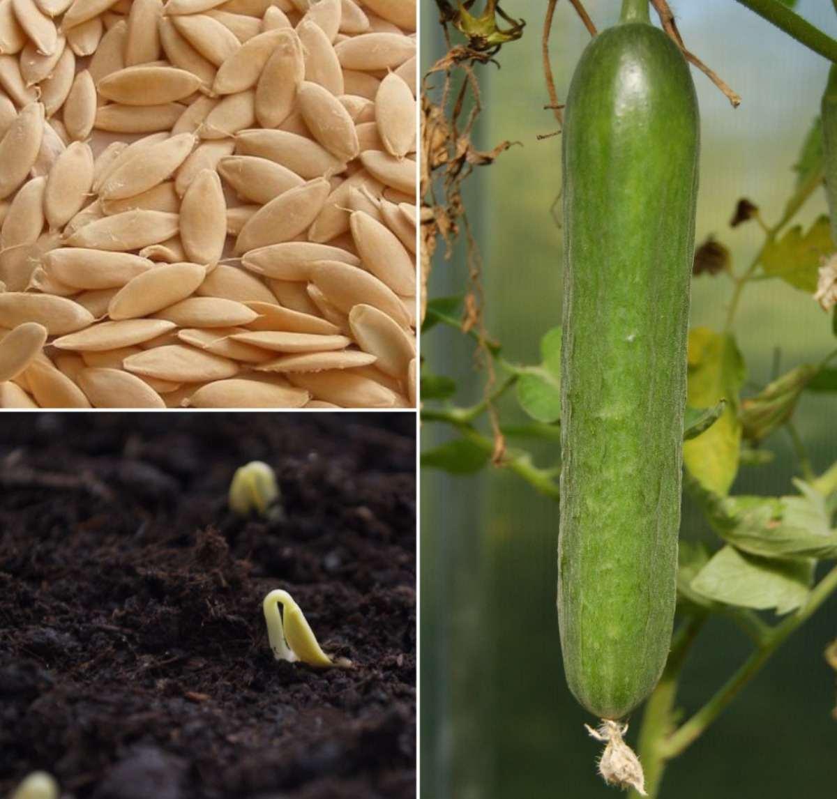 Cucumber Plant Care.