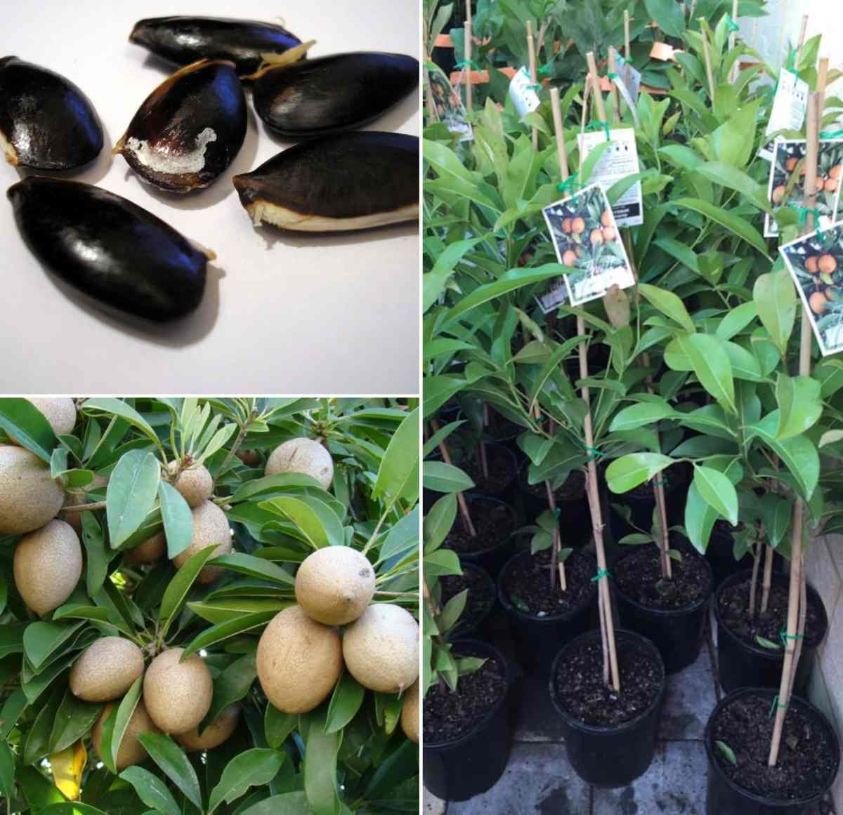 Growing Sapodilla from Seed.
