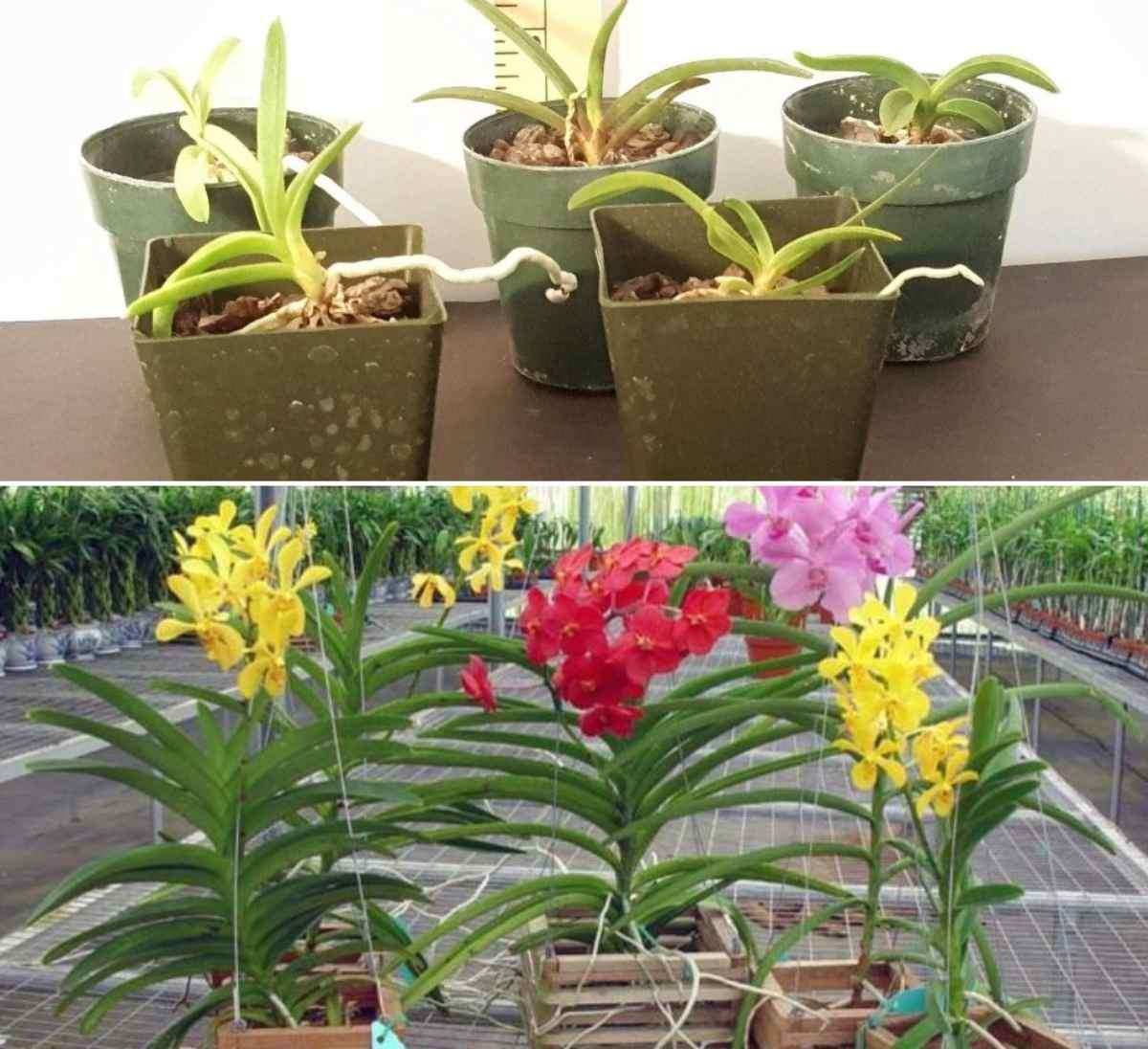 Choosing Health Vanda Seedlings.