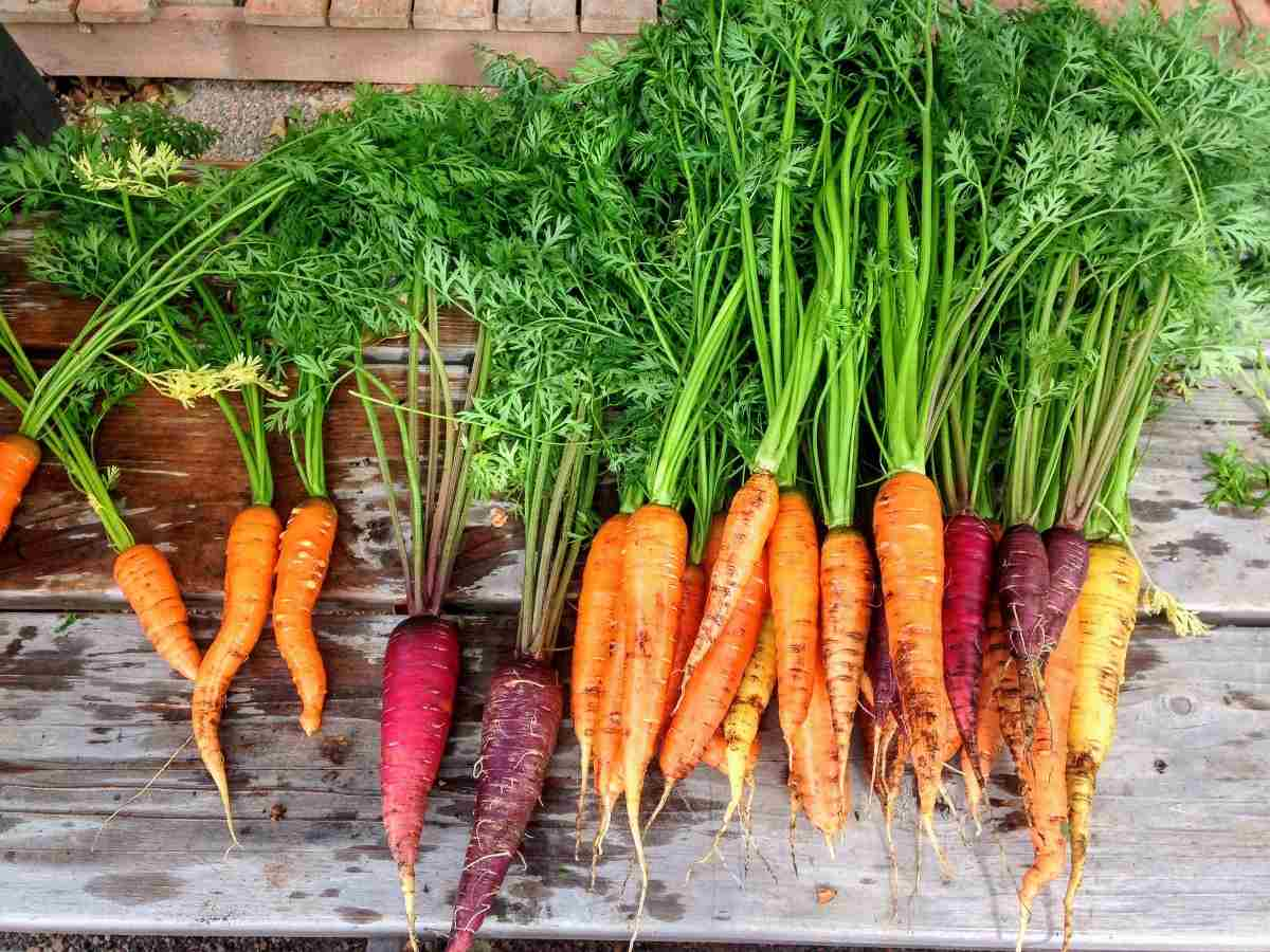 A guide to Hydroponic Carrot.