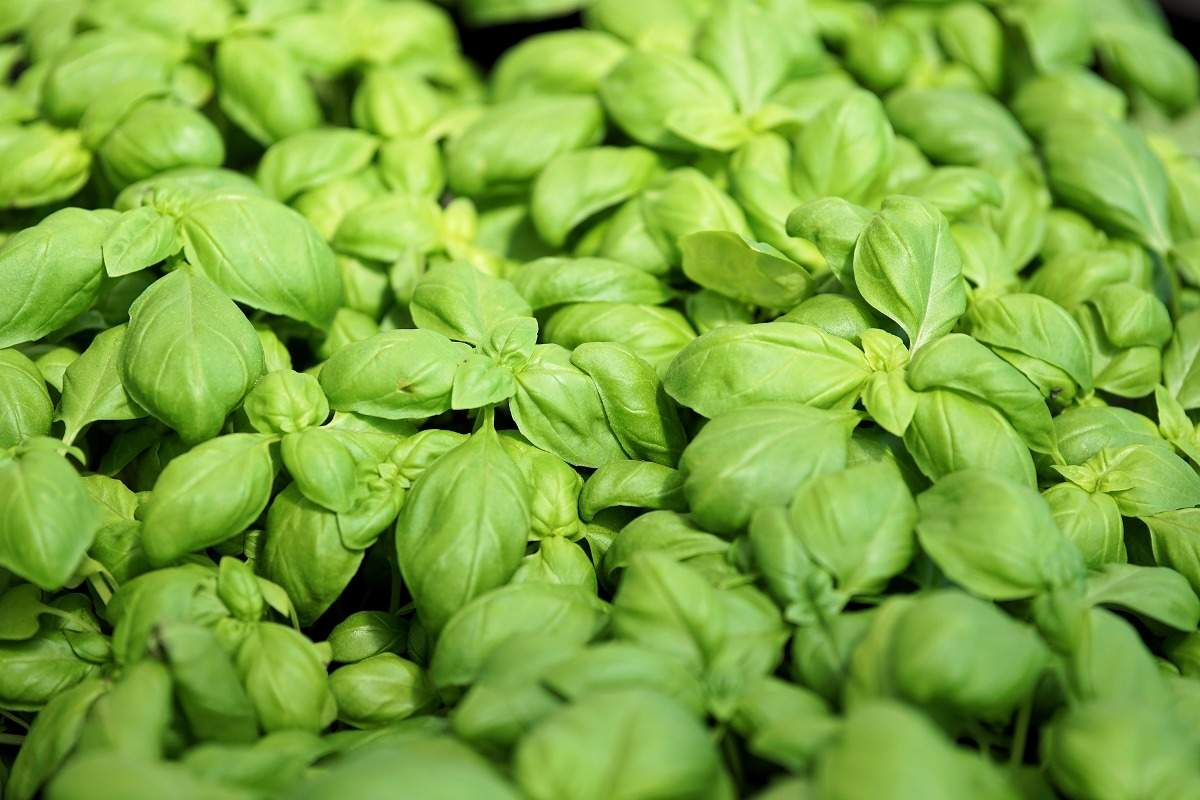 How to Grow Hydroponic Basil Leaves.
