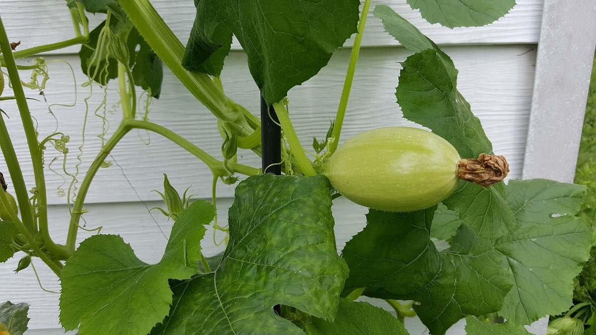 Growing Tips for Squash Plants.
