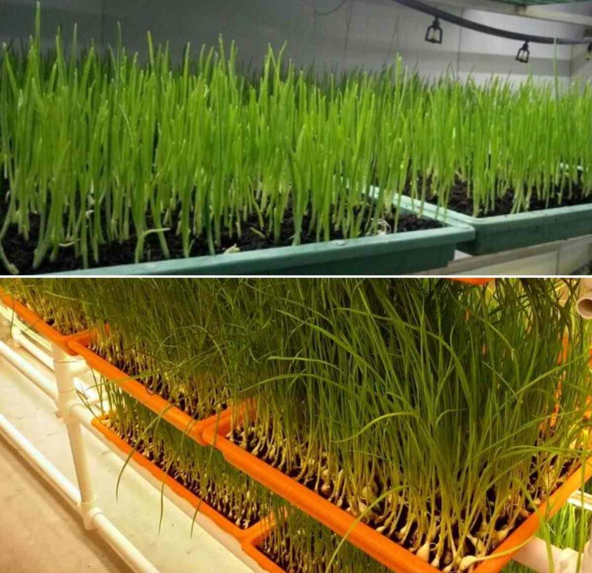 Advantages of Growing Hydroponic Garlic.
