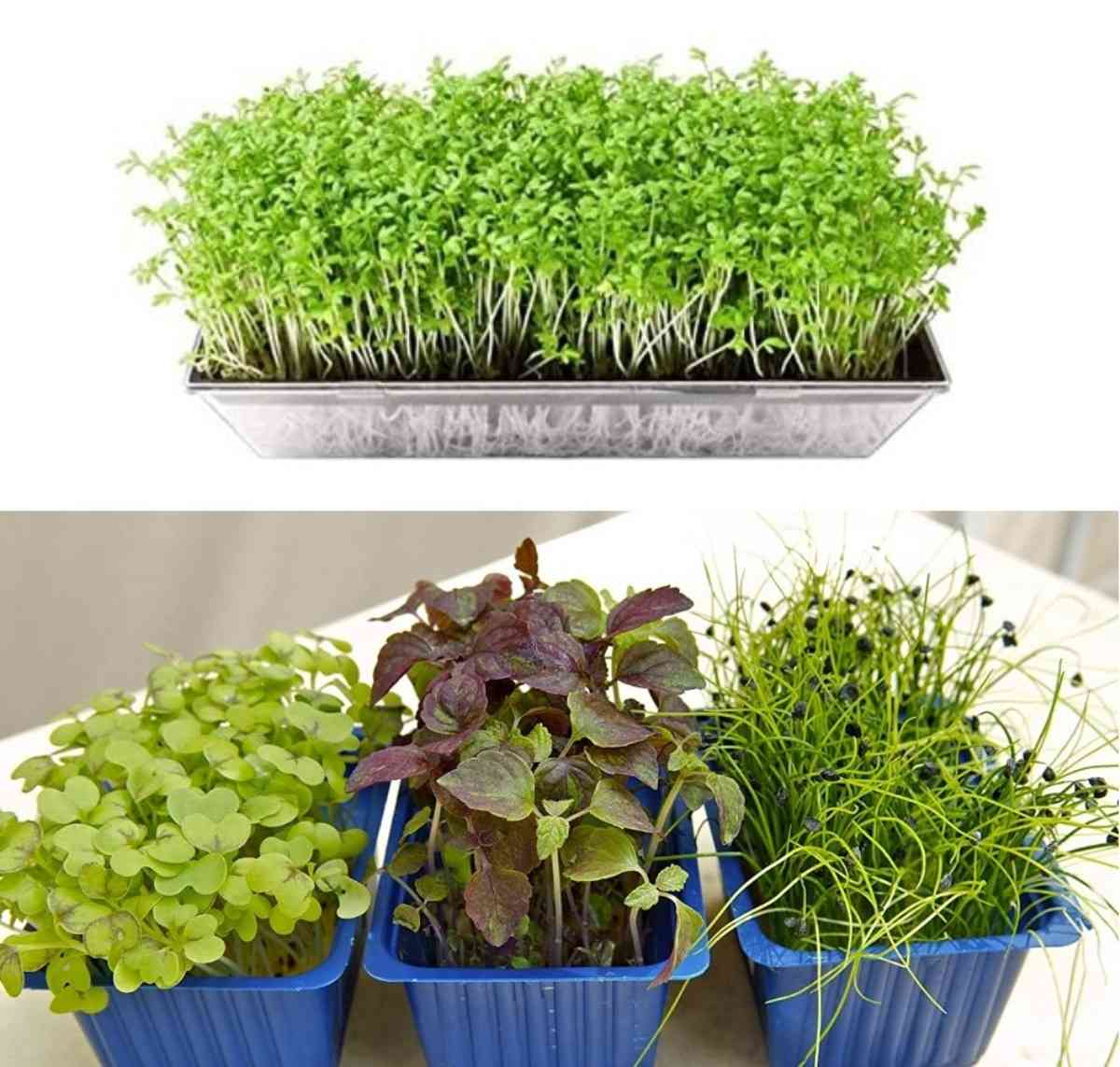 Growing Microgreens in Containers.
