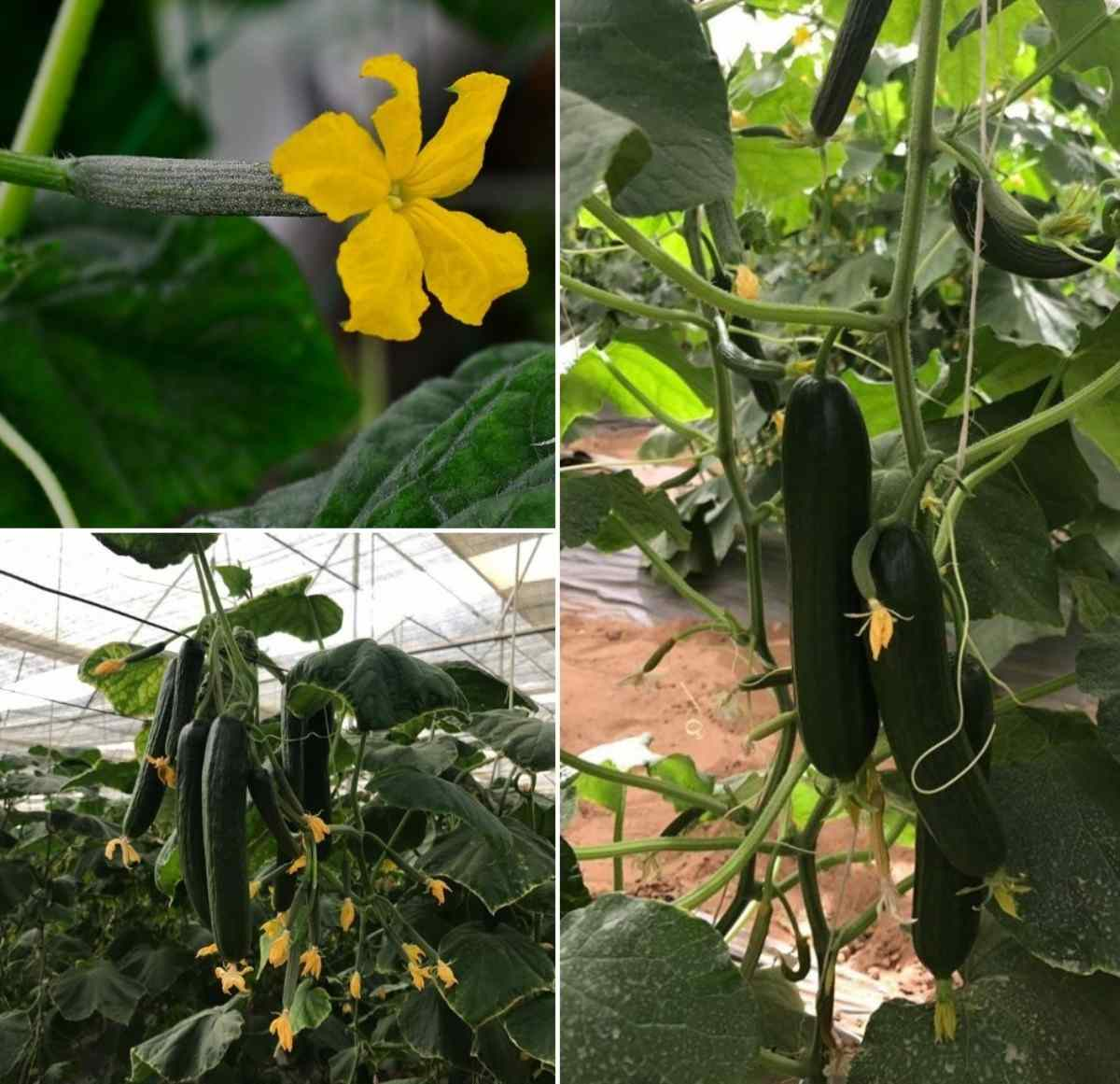 Cucumber Growing Conditions.