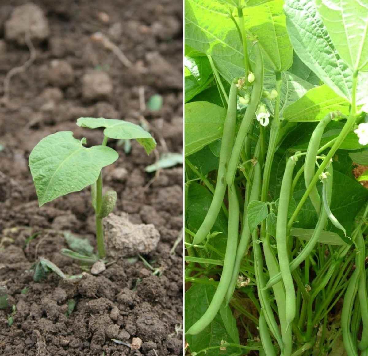 Beans Gardening Tips.