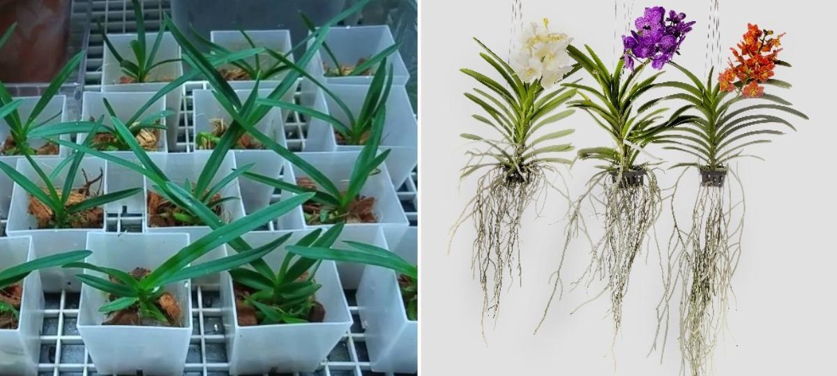 How to Grow Vanda Seedlings.